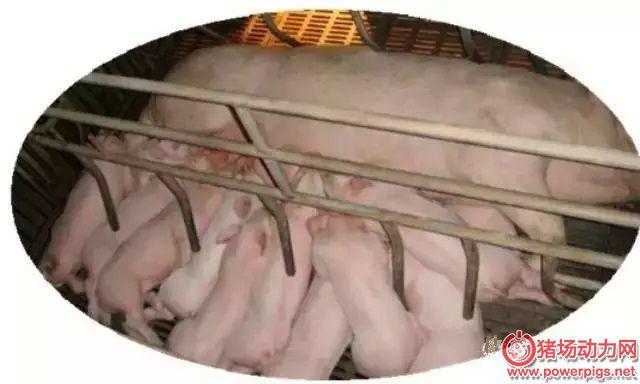 秋季养猪养殖户关键需要管理好两个环节