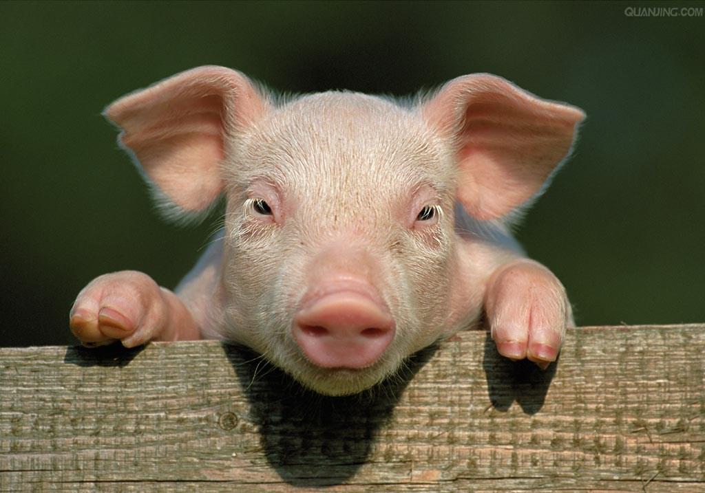九种会导致猪只猝死的疾病