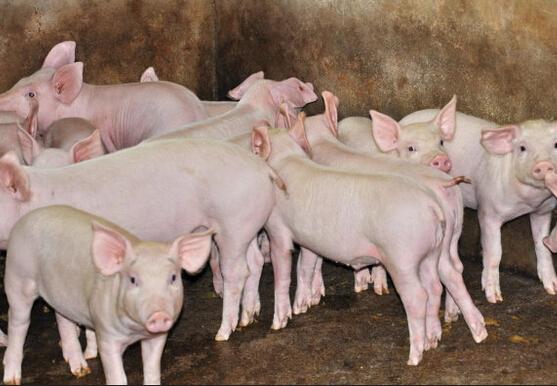 经典!养猪的十个小诀窍