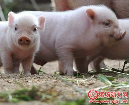 土猪.jpg