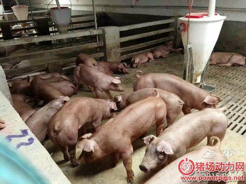养猪人都应该知道的窍门