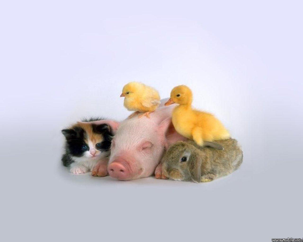 要想养好猪,日常管理需细心!