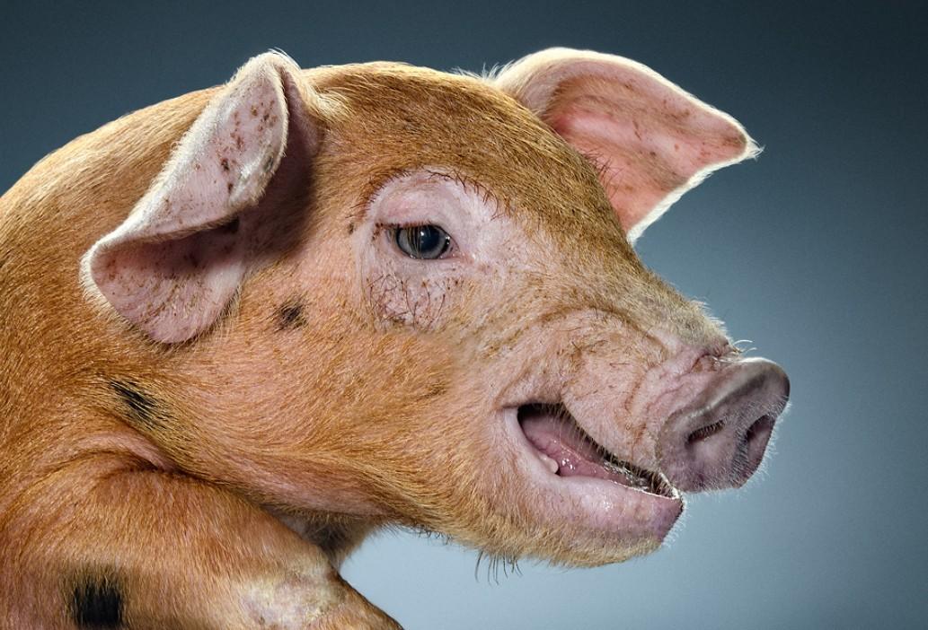 母猪产后为何发病率越来越高?