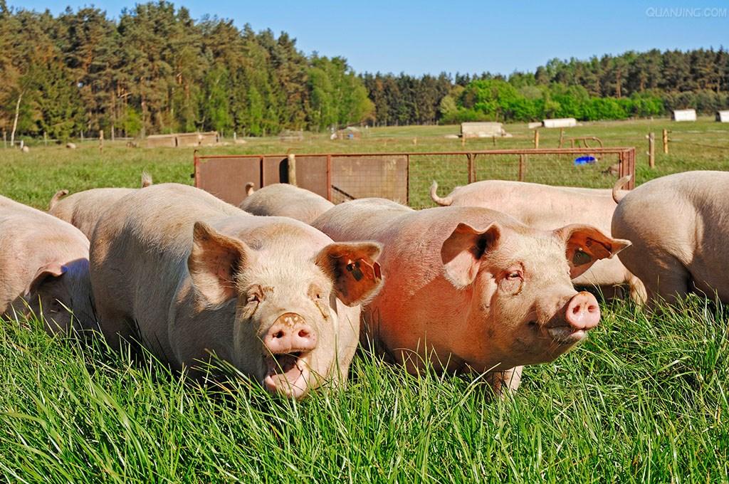 经验:寒冷冬季咋养猪 保暖防病饮温水