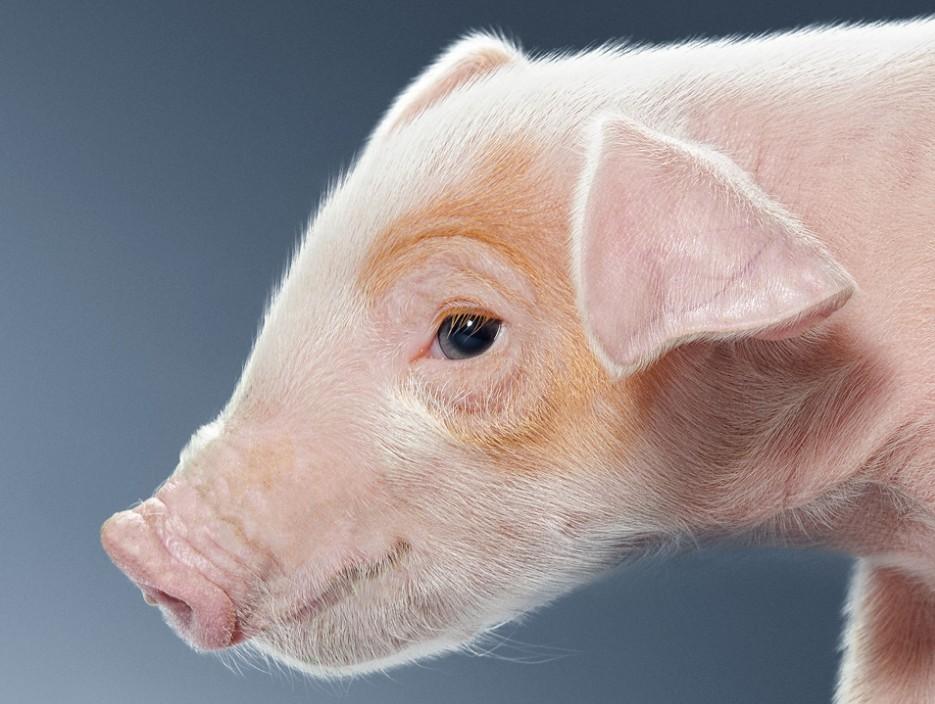 """经验分享:""""三天""""管理法则,让你养猪更轻松!"""