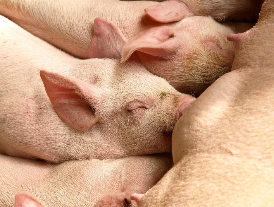 养猪实用技术:养猪36秘笈