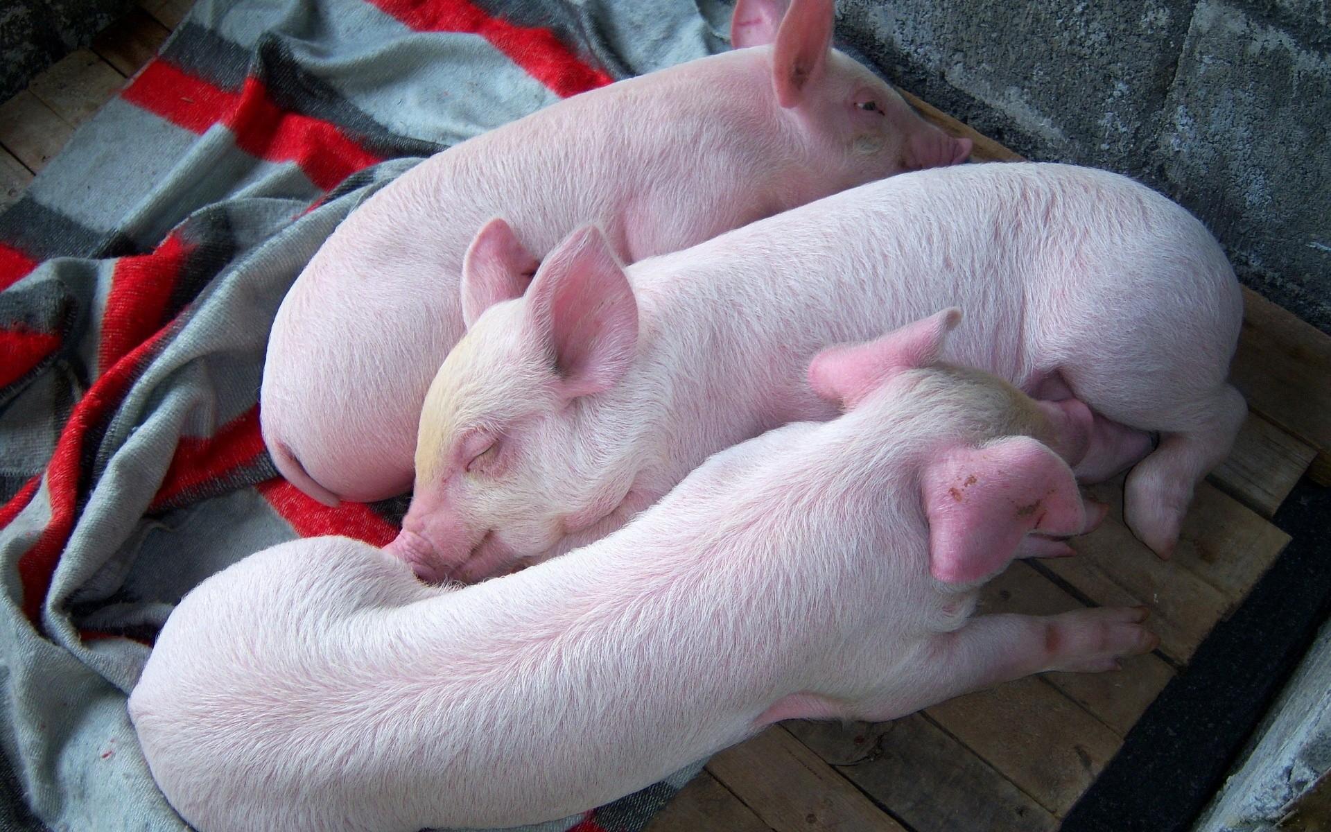 寒冷冬季咋养猪 保暖防病饮温水