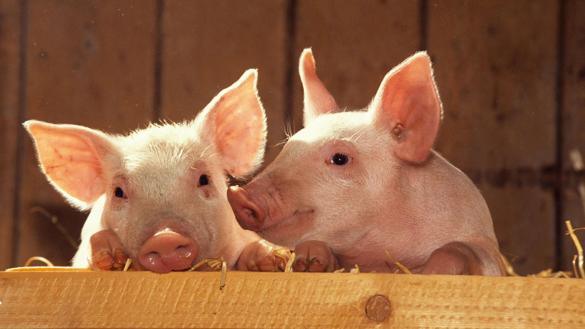 猪场恒温采暖经济又节能(图)