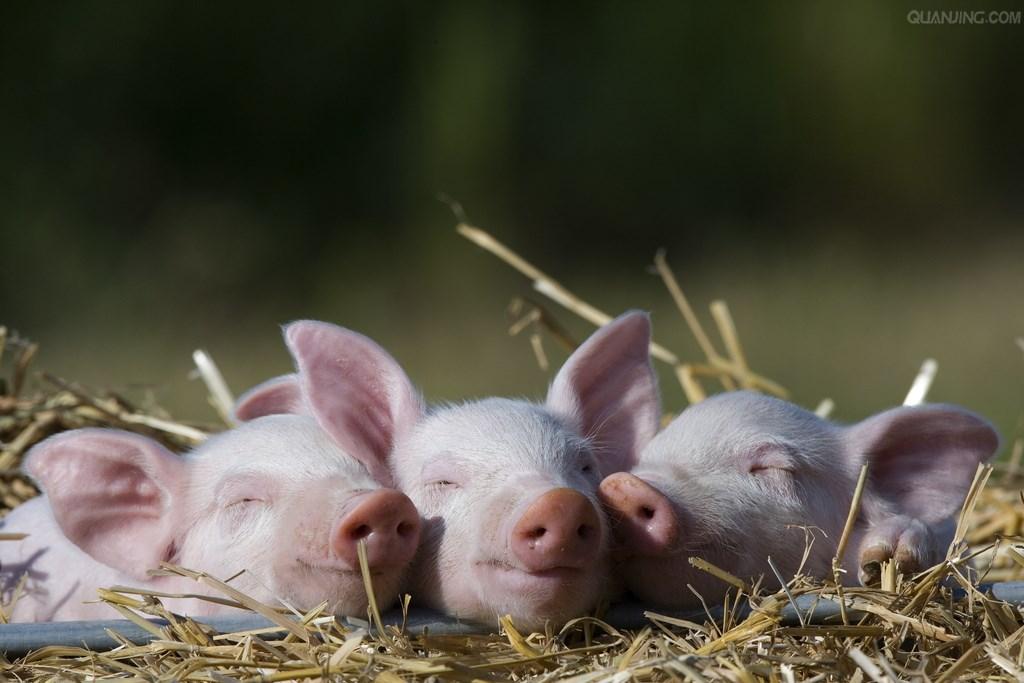养猪生产中猪应激介绍与处理方法