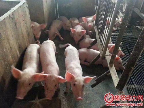 看看关注过改进养猪效益的5个关键点 你做对了吗?