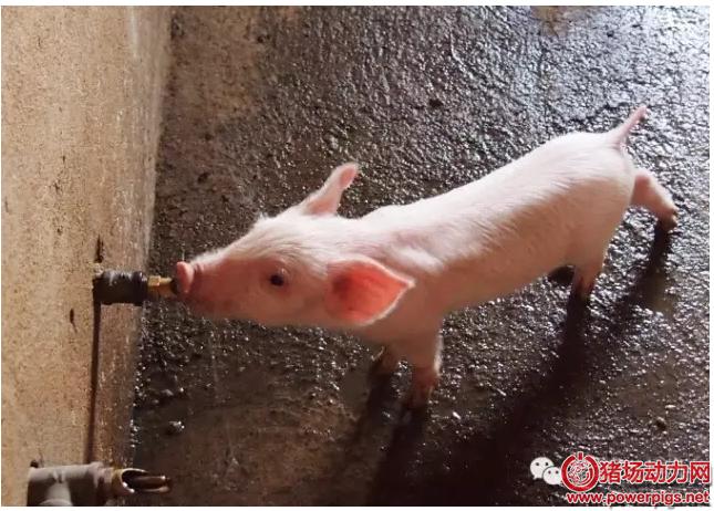影响养猪效益的最大因素不是饲料?而是它!