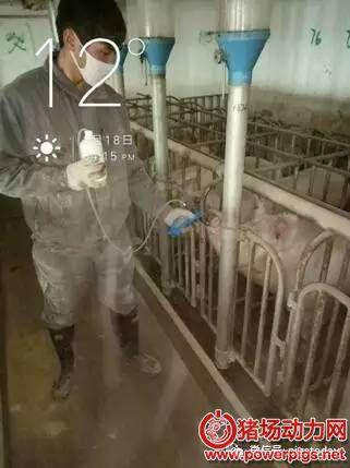 三周批生产后备母猪同期发情应用报告