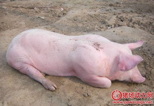 咳嗽、喘气、死亡,夏季警防猪流感的侵袭
