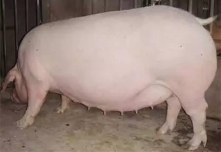 母猪围产期需要关注的细节