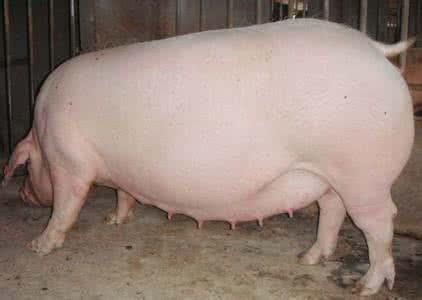 掌握母猪饲养管理这10点,没有养不好的母猪