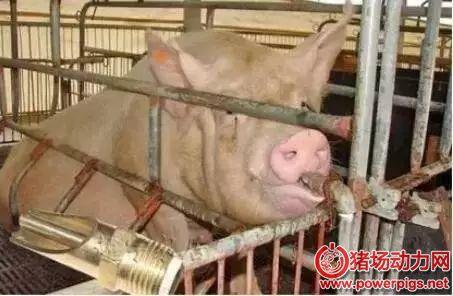 夏季让母猪多产活仔的小妙招,值得收藏
