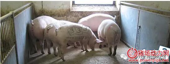 轻胎猪和后备猪舍的规格和设计