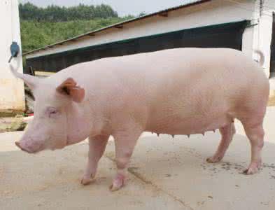 培育好后备母猪,提高母猪群的繁殖性能