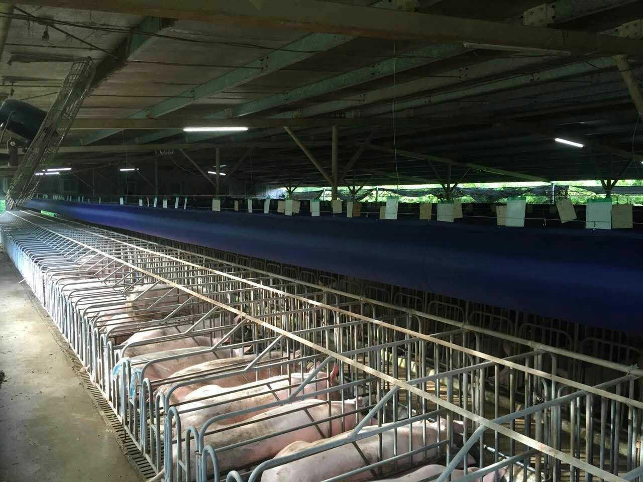 夏季猪场饲养管理需要注意的五个方面