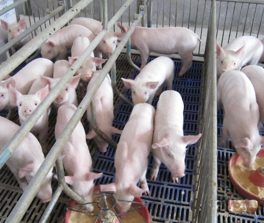 未来十年,我国养猪业发展必须走的四个大方向