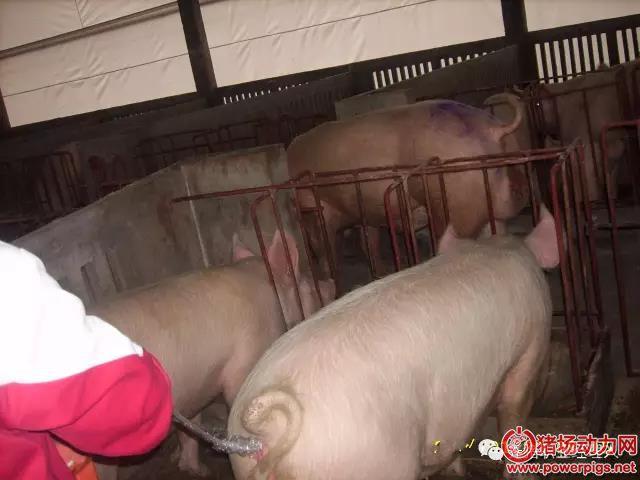 """猪场避免""""二胎综合征"""",可以从这几方面去加强管理"""