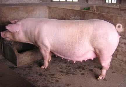 肉眼判断母猪怀孕的三个重要阶段