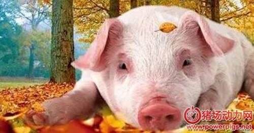 秋季猪场做好这些工作,养猪将事半功倍
