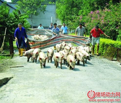 不一般的套路, 1人竟能轻松搞定一群猪,厉害吗?