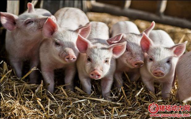 猪场选猪法则!不同种猪品系的优缺点都在这里....