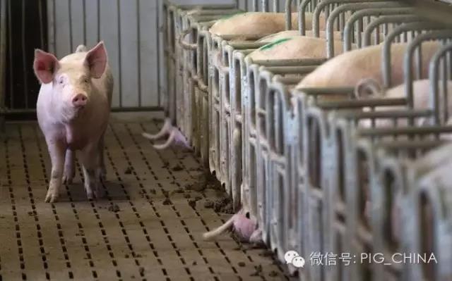猪场非生产天数的管理