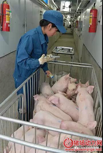 不同阶段仔猪的营养需求