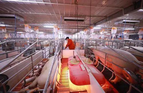 为什么要批次化管理的方式来养猪?能解决猪场这4个痛点!