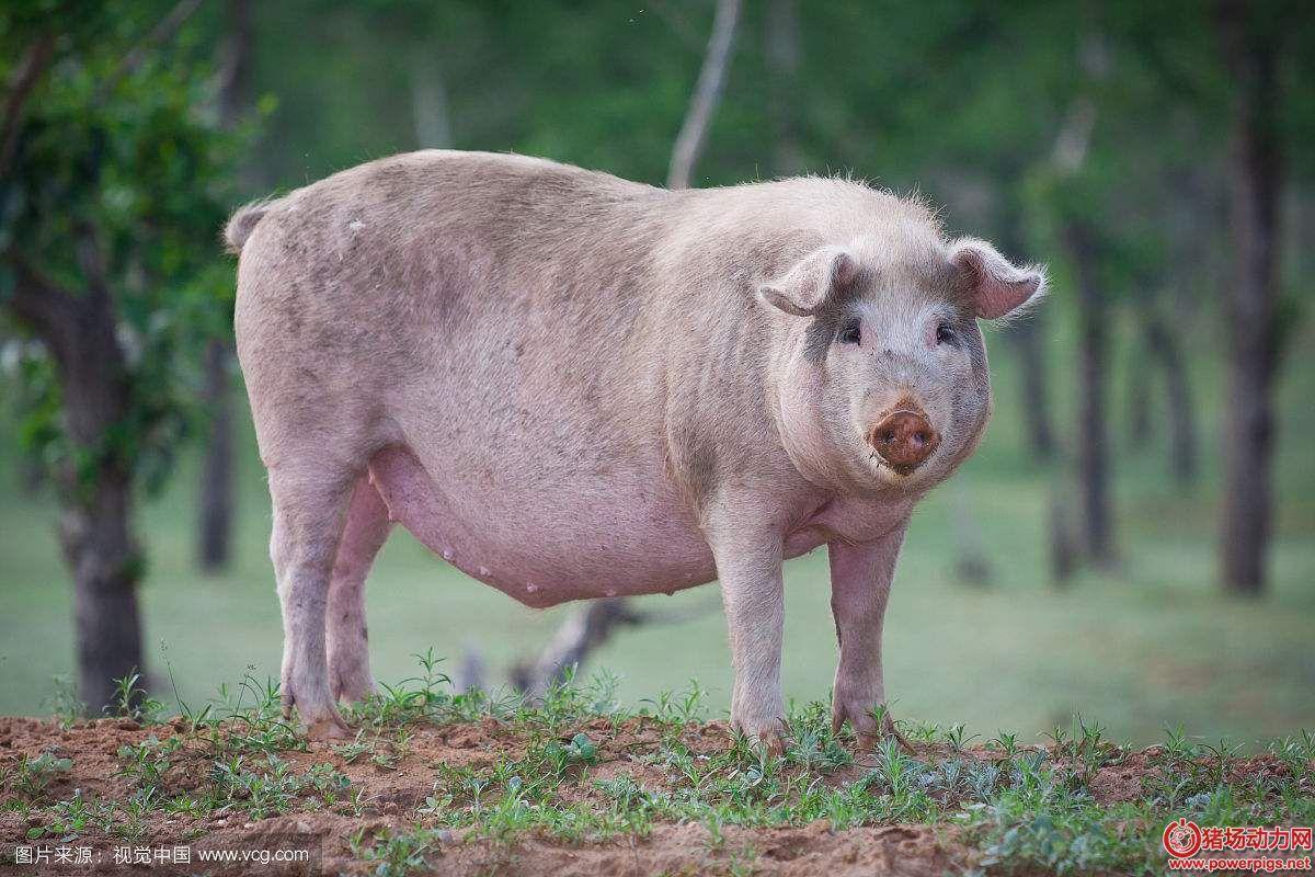 规模化猪场,如何实施母猪淘汰原则?