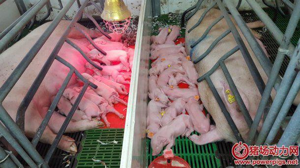 什么是理想的分娩舍设施:产床数量,猪舍大小,产床类型… (1/2)