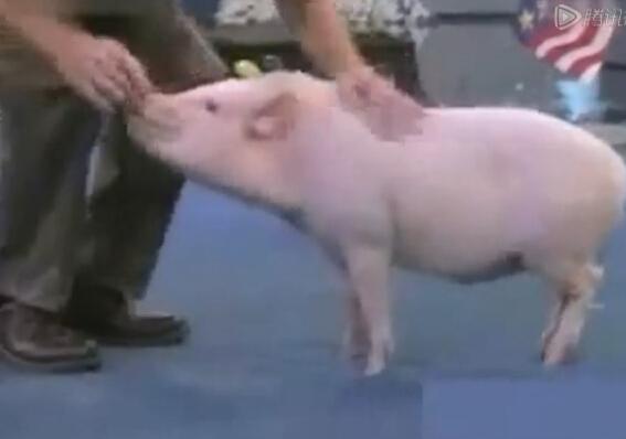 史上最强的猪:颠覆你对猪的一切看法