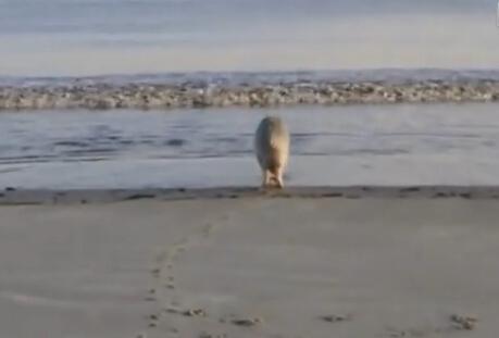 爆笑!独自面朝大海游泳打滚的猪
