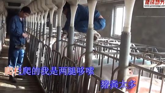 养猪人自制《配种妊间》MV,记录猪场喜怒哀乐