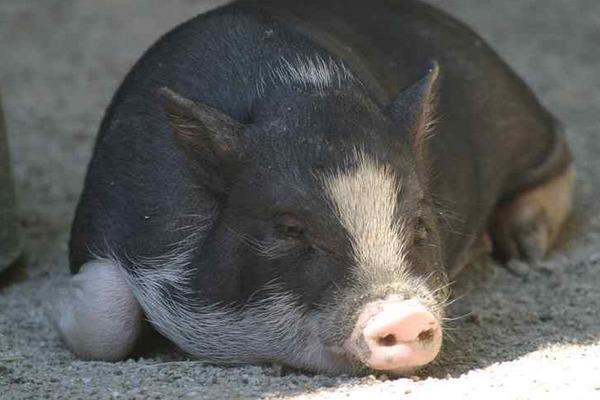 外国运猪车高速侧翻 猪:睡什么睡,起来high!