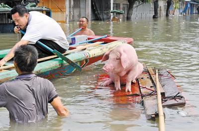 哈哈哈!趁水打劫,不顾洪水,把猪捉上来吃
