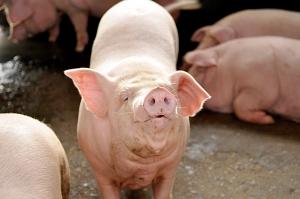 农村喂猪搞笑歌曲