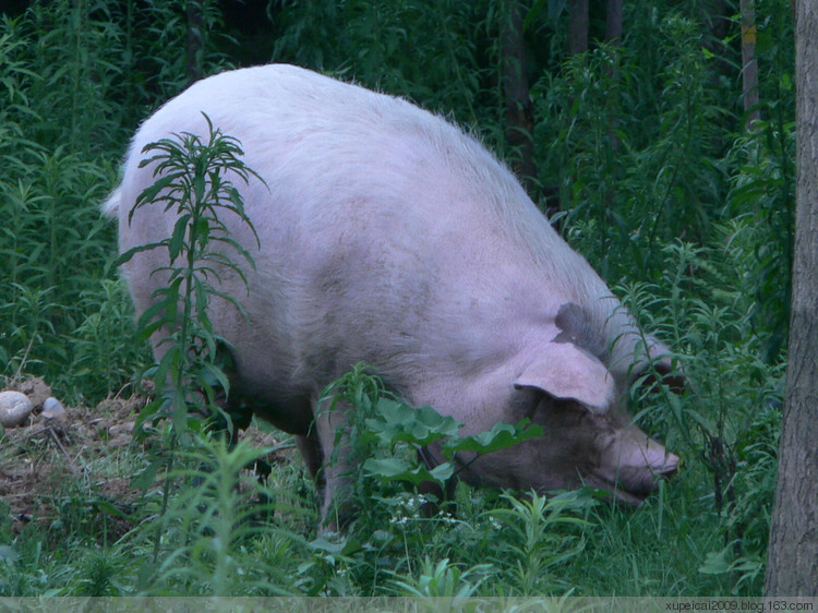 猪偷吃警察局里头中的菜 引起的系列风波