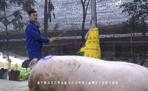 奎哥养猪第二期 养了几十年猪,你真的会赶猪吗?