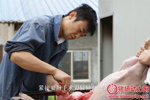 奎哥养猪第四期 小猪脐疝手术详细操作流程