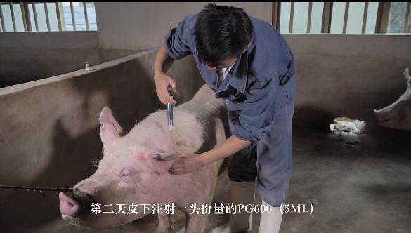 奎哥养猪第五期 后备母猪不发情咋办?教你7招搞定它