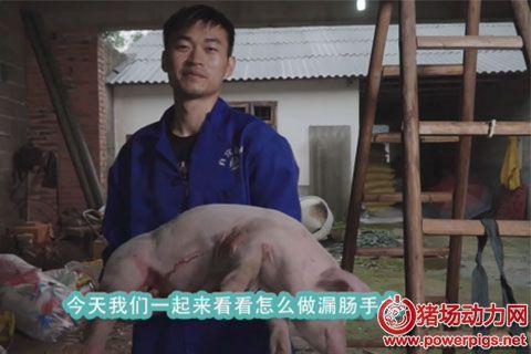 奎哥养猪第八期 漏肠猪手术详解,3分钟帮你解决大麻烦!