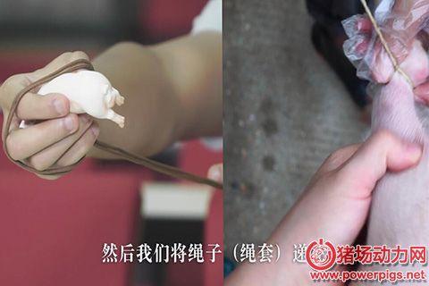 奎哥养猪第十六期 母猪难产用手掏不出来?那就试试这两个掏猪神器!