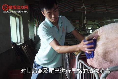 奎哥养猪第二十期 母猪产后消炎需谨慎,这8种猪一定要清宫处理!