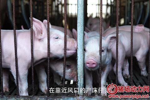 奎哥养猪30期 冬季猪场疾病多,90%是因为保温工作没做好!