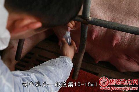 奎哥养猪31期 给猪妈挤奶全攻略,把握时机抢救弱仔!