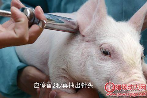 奎哥养猪第36期:疫苗使用的4大注意事项,细节决定免疫成败
